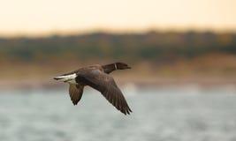 Brant Goose tijdens de vlucht Royalty-vrije Stock Foto's