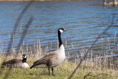 Brant goose. Two Brant gooses male and female (Branta Canadensis Stock Image