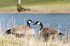 Brant goose. Two Brant gooses at waterline  (Branta Canadensis Stock Photo