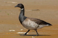 Brant Goose Royalty Free Stock Photo