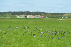 Brant gooses on Dutch wadden island Royalty Free Stock Photos
