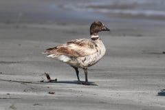 Brant (nigricans bernicla чёрной казарки) на пляже Стоковое фото RF