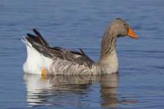 Brant Royalty Free Stock Photography