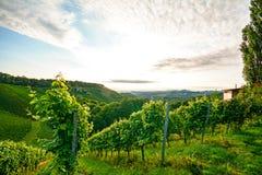 Brant vingård med druvor för vitt vin nära en vinodling i det växande området för tuscany vin, Italien royaltyfri fotografi