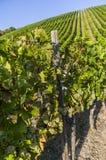 Brant vingård med vinrankor i rad och vita druvor och bär arkivfoto