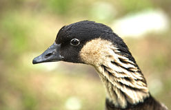 Branta canadensis. One of the best known birds in North America. It is found in every contiguous U.S. state and Canadian province at one time of the year or Royalty Free Stock Photo