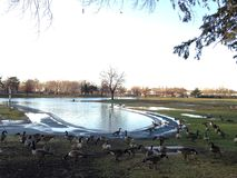 Branta Canadensis Birds on a Lawn in front of a Pond after Rain in Winter. Royalty Free Stock Images