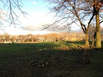 Branta Canadensis Birds on a Lawn in front of a Pond after Rain in Winter. Stock Image