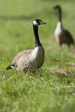Branta canadensis Royalty Free Stock Photography