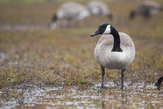 Branta canadensis Stock Images