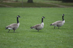 Branta canadensis Stock Photography
