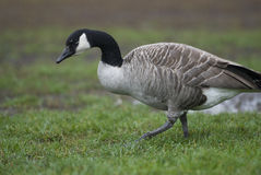 Branta canadensis Royalty Free Stock Images