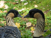 Branta sandvicensis Royalty Free Stock Photos