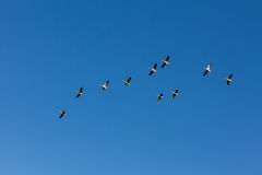 Brants flying on a crystal blue sky. In autumn Stock Photo