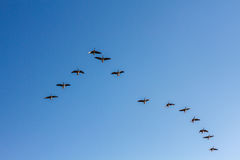 Brants flying formation. On a crystal blue sky Stock Photo