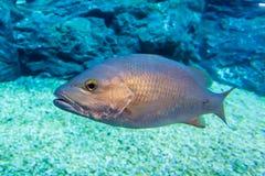 Branzino sotto acqua Fotografia Stock Libera da Diritti
