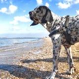 Braque d'Auvergne på stranden Royaltyfri Fotografi