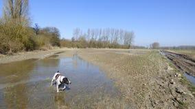 Braque d 'auvergne del perro en un campo mojado foto de archivo libre de regalías