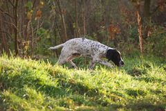 Braque d'Auvergne Hunting dog in action Stock Images