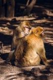 2 brarbary обезьяны макаки delousing, Ifrane, Марокко Стоковые Изображения RF