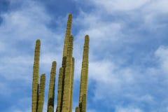 Bras de cactus montant dans le ciel bleu image libre de droits