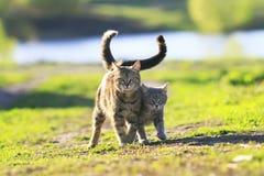 Bras de marche du chaton deux rayé mignon dans le bras sur un pré vert et Images libres de droits