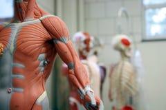 Bras et torse humains d'un Anat Image stock