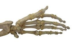 Bras squelettique d'isolement sur le blanc Photographie stock libre de droits