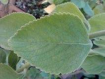 Brasileño Boldo Boldo una planta medicinal fotos de archivo