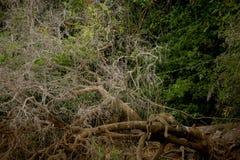 Brasileño Pantanal - Jaguar foto de archivo