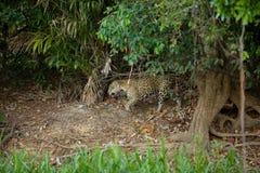 Brasileño Pantanal - Jaguar imagen de archivo