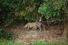 Brasileño Pantanal - Jaguar fotografía de archivo