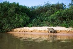Brasileño Pantanal - Jaguar fotos de archivo