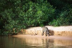 Brasileño Pantanal - Jaguar imagen de archivo libre de regalías