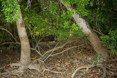 Brasileño Pantanal - Jaguar fotografía de archivo libre de regalías
