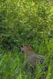 Brasileño Pantanal - Jaguar foto de archivo libre de regalías