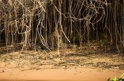 Brasileño Pantanal - Jaguar imágenes de archivo libres de regalías