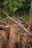 Brasileño Pantanal - Jaguar imagenes de archivo