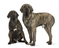 brasileiro巴西狗丝状部分大型猛犬 图库摄影