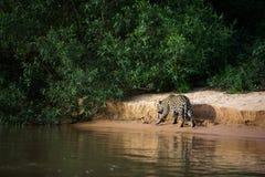 Brasileiro Pantanal - Jaguar fotografia de stock