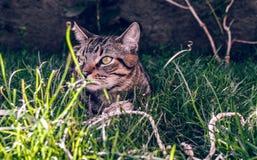 Brasileiro Shorthair Cat Holding seu brinquedo favorito do cabo na grama foto de stock royalty free