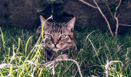 Brasileiro Shorthair Cat Holding seu brinquedo favorito do cabo na grama fotos de stock royalty free