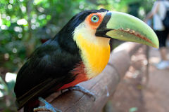 Brasilia toucan Стоковые Фото