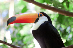 Brasilia toucan Stock Image