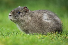 Brasilian guinea pig. The brasilian guinea pig in the grass Stock Photography