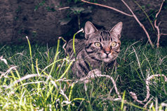Brasilian Shorthair Cat Holding hans favorit- kabelleksak på gräset royaltyfri foto