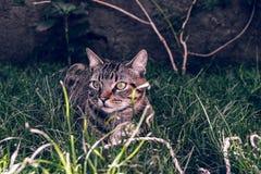 Brasilian Shorthair Cat Holding hans favorit- kabelleksak på gräset arkivfoto