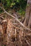 Brasilianer Pantanal - Jaguar stockfoto