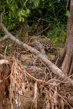 Brasilianer Pantanal - Jaguar stockbild