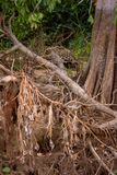 Brasilianer Pantanal - Jaguar lizenzfreie stockfotos